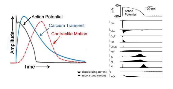 Cardiomyocyte excitation-contraction coupling