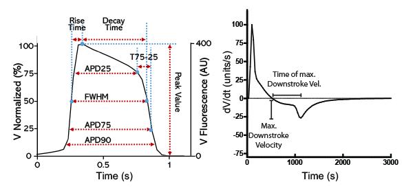 Cardiomyocyte Action Potential Parameterization